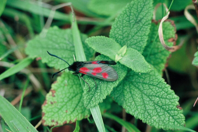 Talisker Burnet Moth