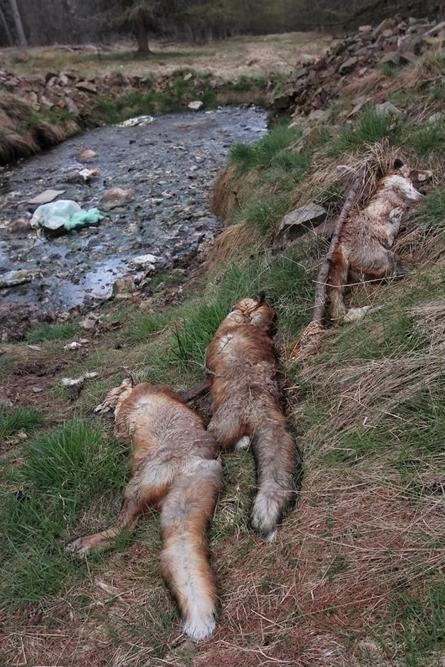 Dead foxes near stink pit