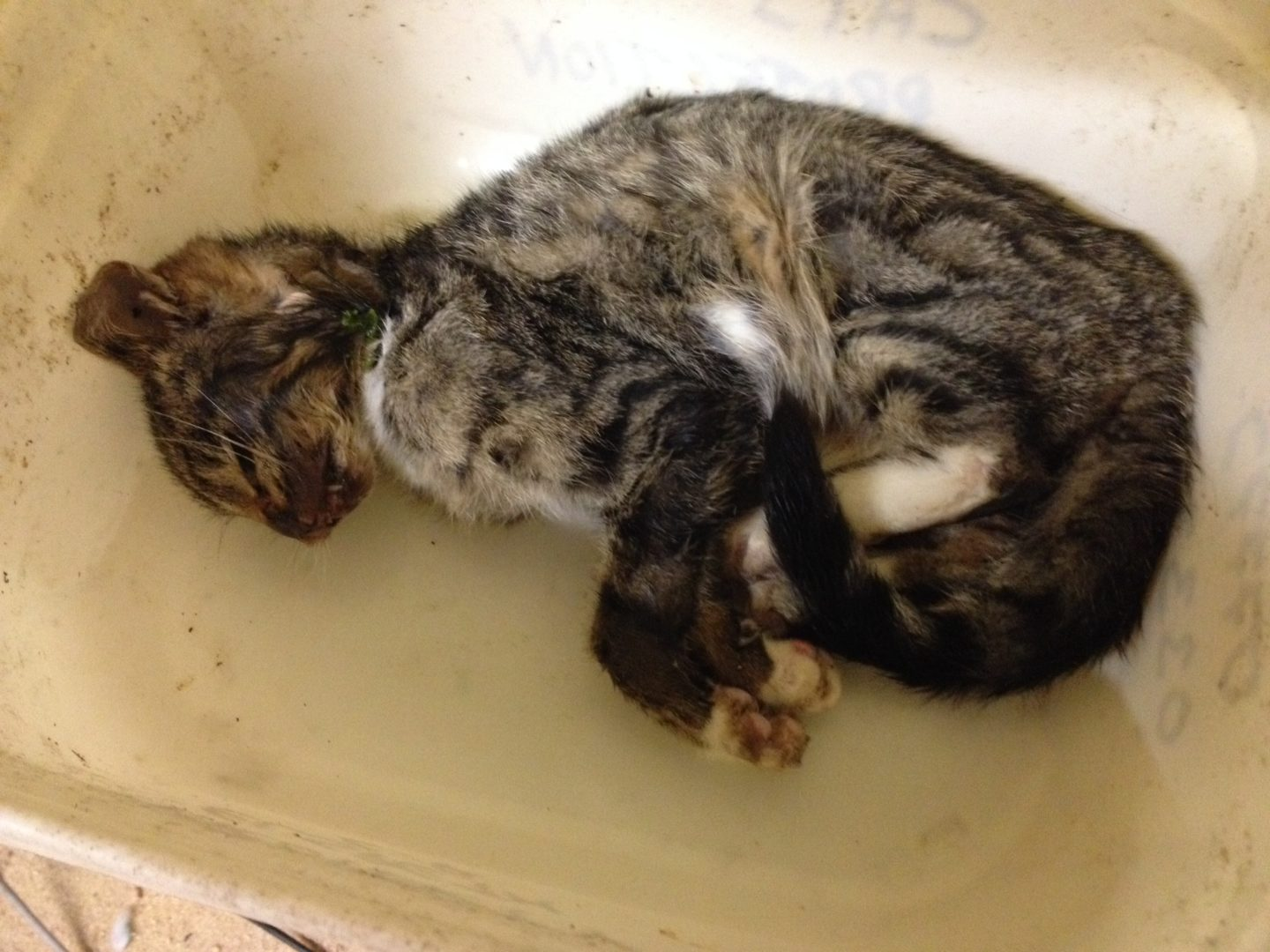 Kitten-road-traffic-victim-crawled-to-feed-basin-to-die-photo-thanks-to-Elspeth-Stirling