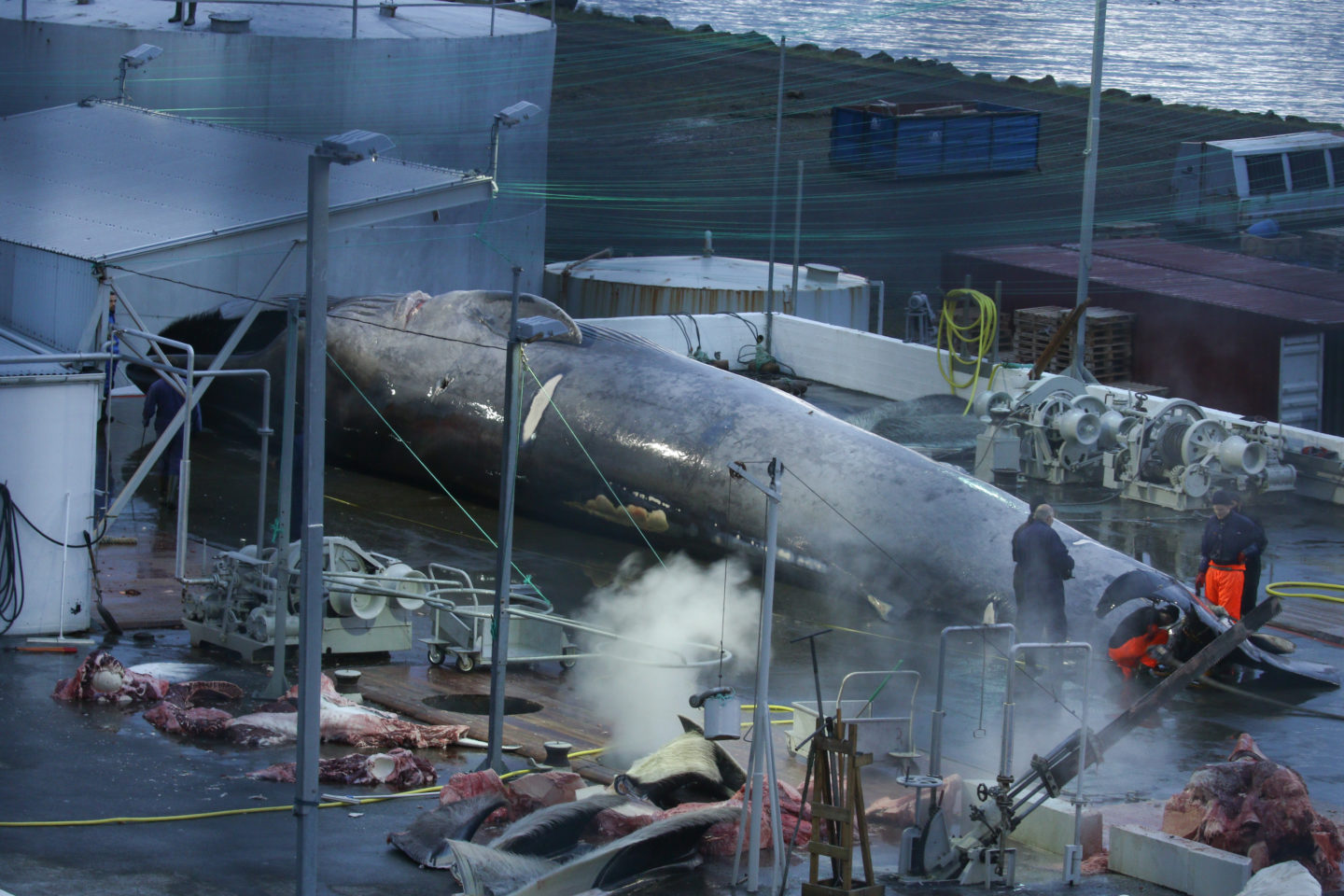 Blue whale awaiting slaughter.