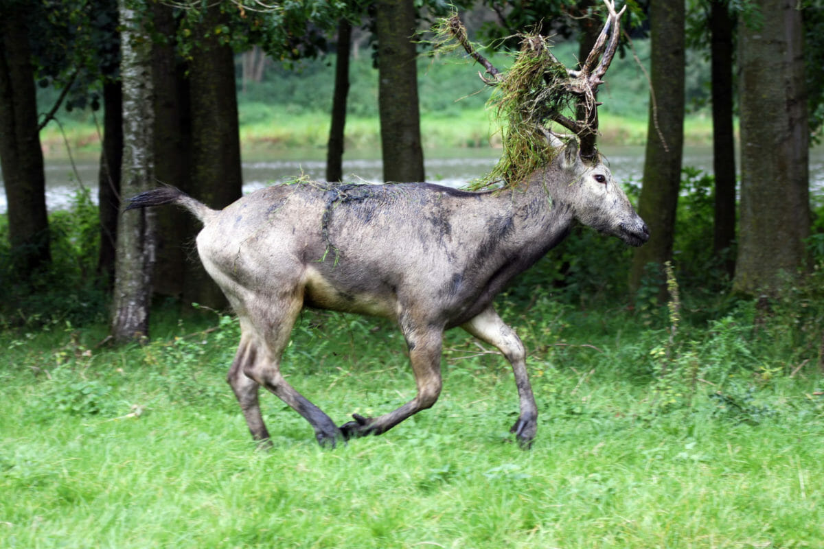 Pere David deer hunting