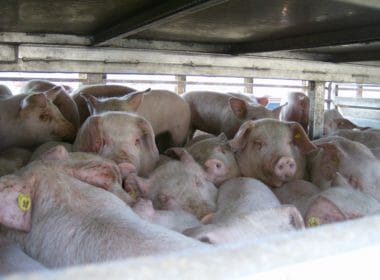 Live export animal transport