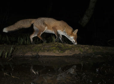 Foxes still chased by hounds and shot in public forests 6